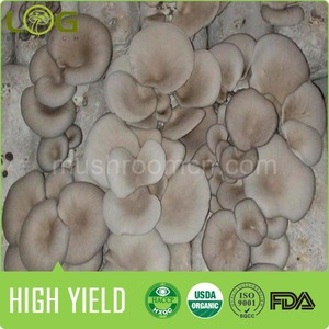 2014 Bulk for sale exporter chinese high quality lowest price grey oyster mushroom spawn