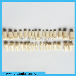 Dental Replaced Teeth Model for Study Practice Nission Teeth