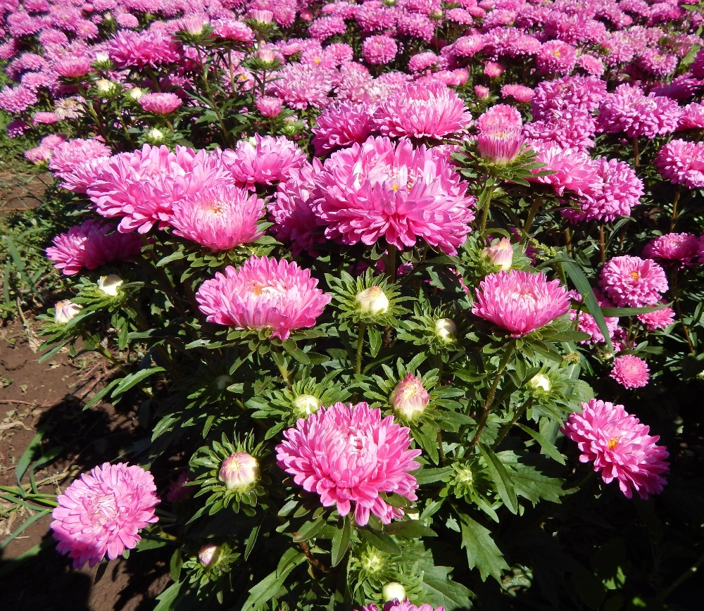 Pink Purple White Red Blue China Aster Flower Seeds For Cultivation