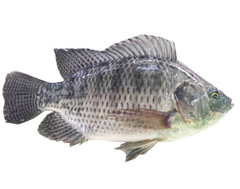 Wholesale African Food 500 800 Fresh Water Fish Tilapia Price
