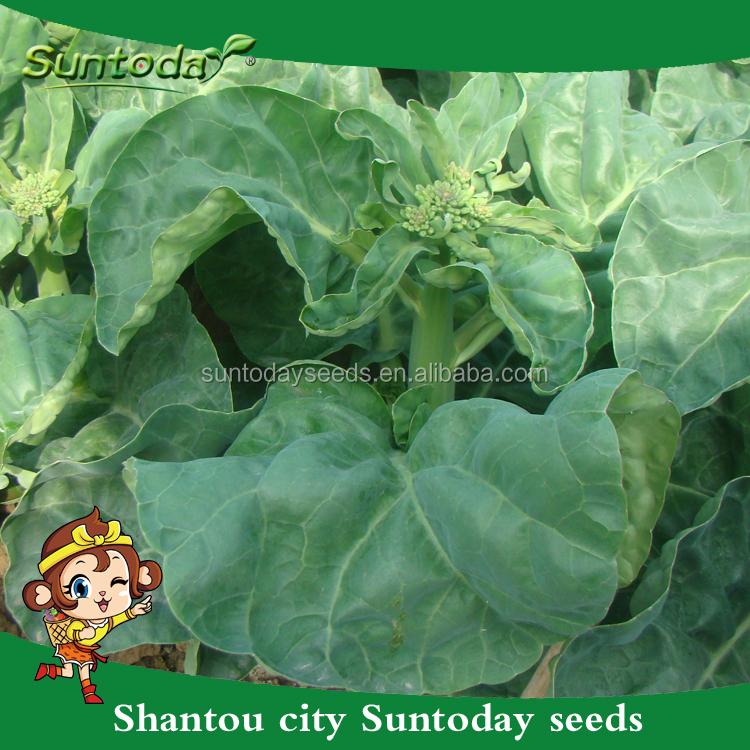 grossiste planter brocoli-acheter les meilleurs planter brocoli lots
