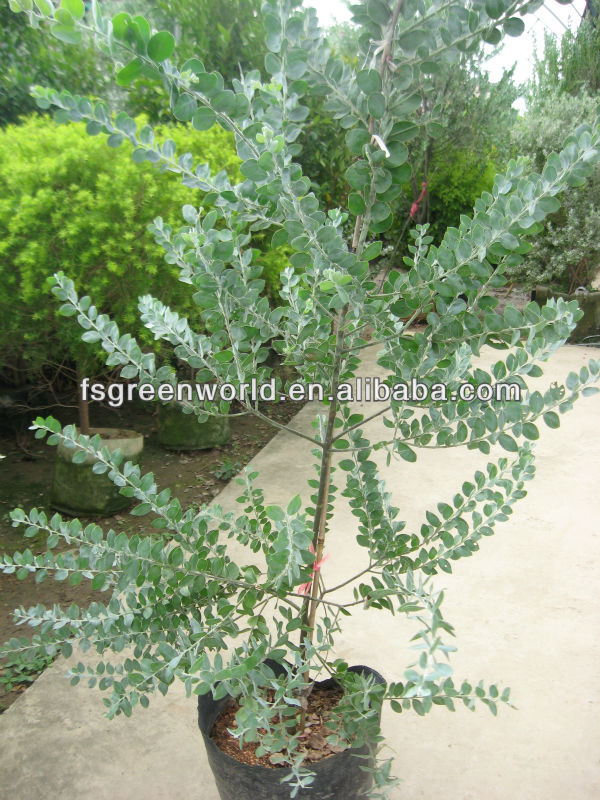 Acacia Podalyriifolia Shrubs Tree Buy Acacia Podalyriifolia Shrub