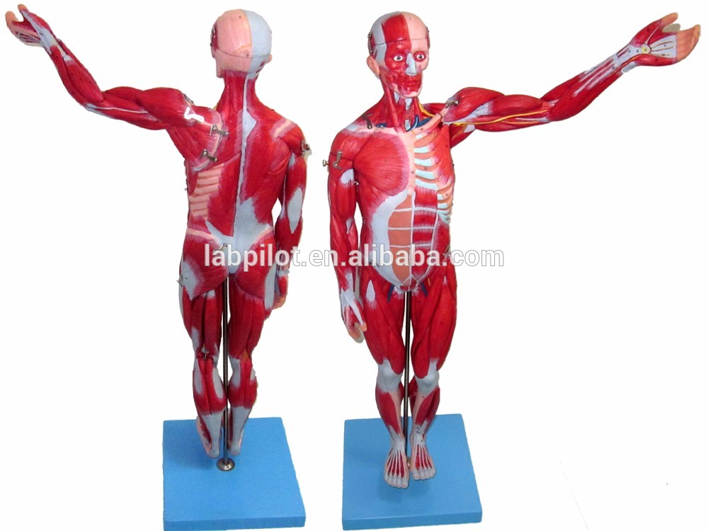 18 Parts 78cm Full Body Muscles Model,Anatomical Muscles Of Male ...