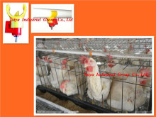 Africa A type & H type Type and Chicken Use poultry white hen