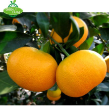 Export fresh mandarin orange