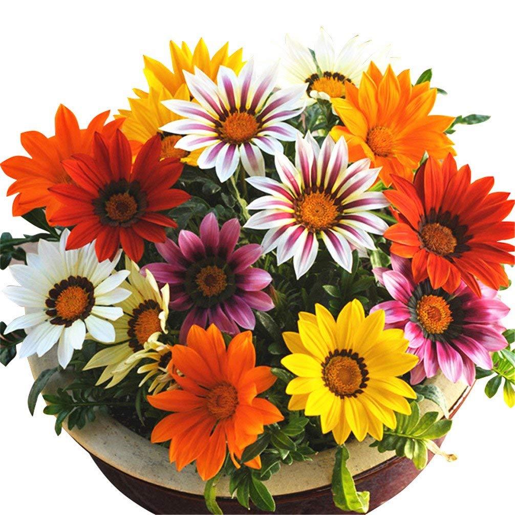 50 Gazania Seeds Logro Stripe Mix Flower Seeds