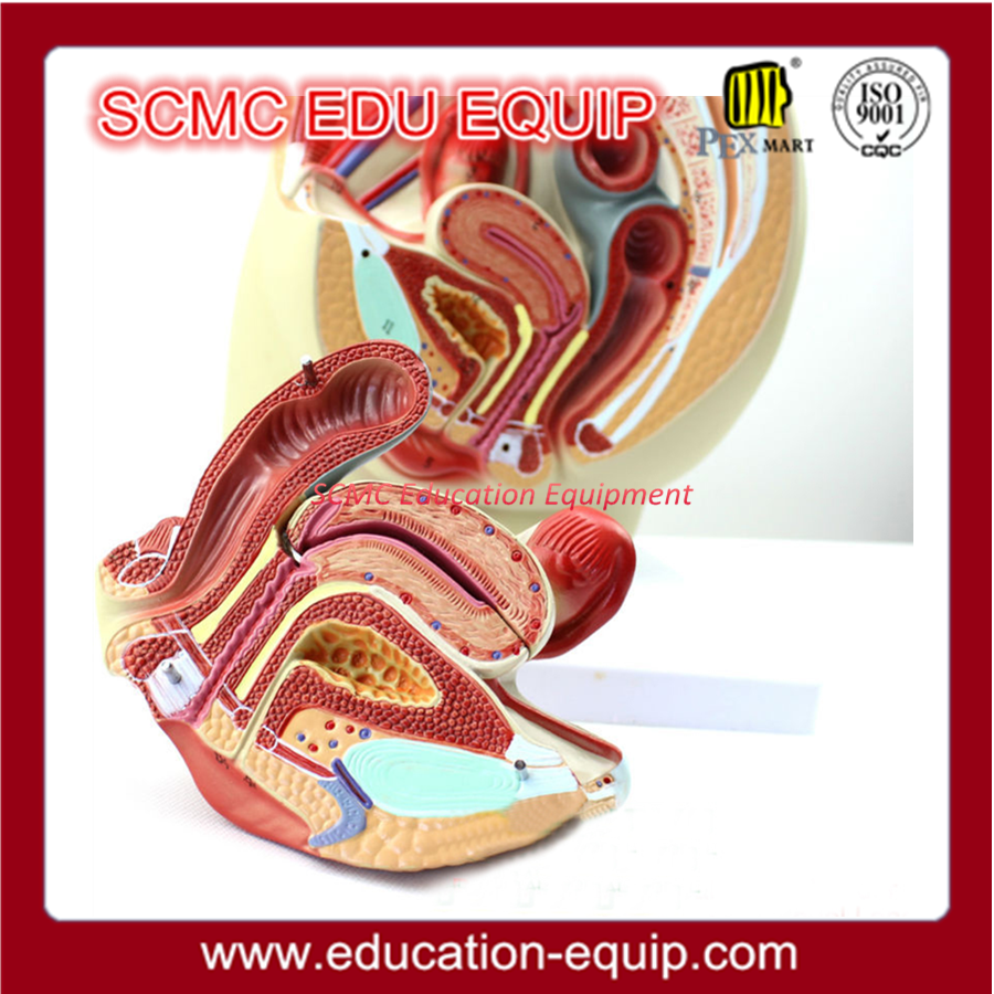 Female Reproductive System Anatomical Model, Female Reproductive ...