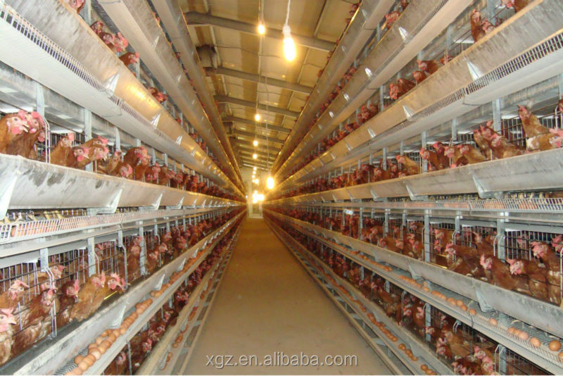 Chicken Poultry Farm with Equipment
