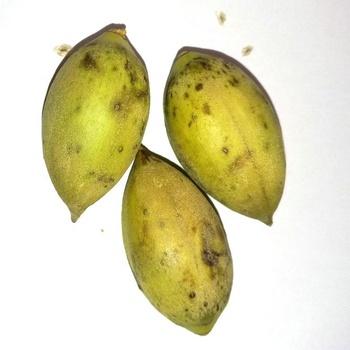 Fresh Paulownia Seeds For Planting