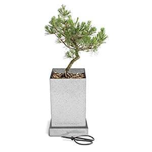 Potting Shed Creations Bonsai Box Specimen Tree, in Japanese Black Pine