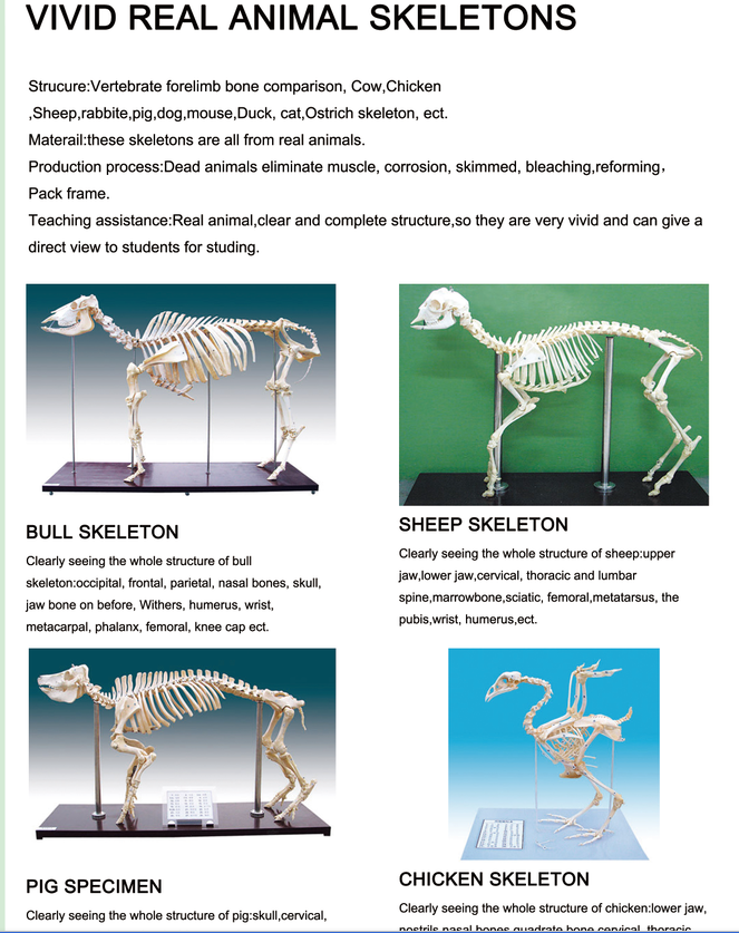 Medical Human Wholesale 85cm Plastic Anatomical Teaching Skeleton ...