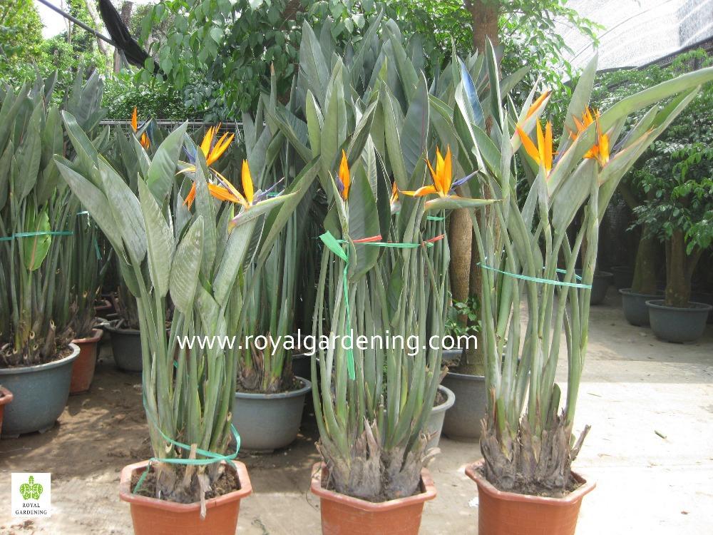 Strelitzia Reginae Bird Of Paradise Crane Flower Buy