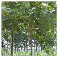 one year cut Cold resistant fast growing paulownia seedling for planting