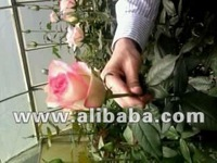 cut flowers:roses,lilies,carnations