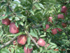 bulk fresh apple import from China apple farms