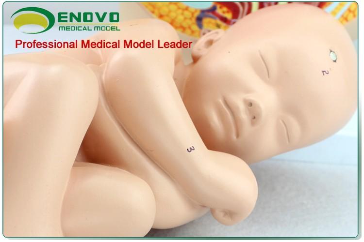 Anatomy10 (12448) Medicina Clínica Embarazo Pelvis-40 Semana ...