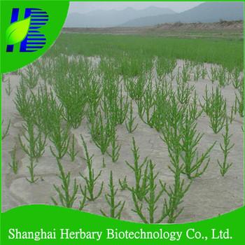 Salicornia Europaea Seeds For Cultivating
