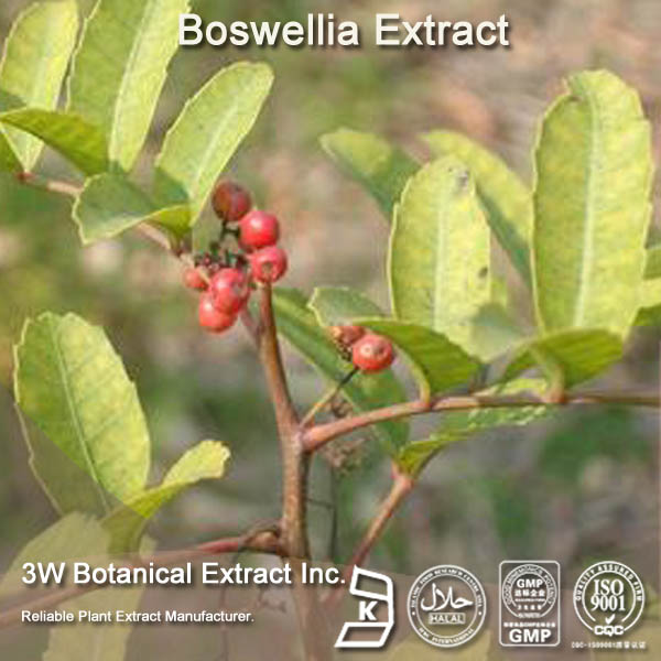 ISO Certificated Boswellia P.E.powder in Light yellow powder