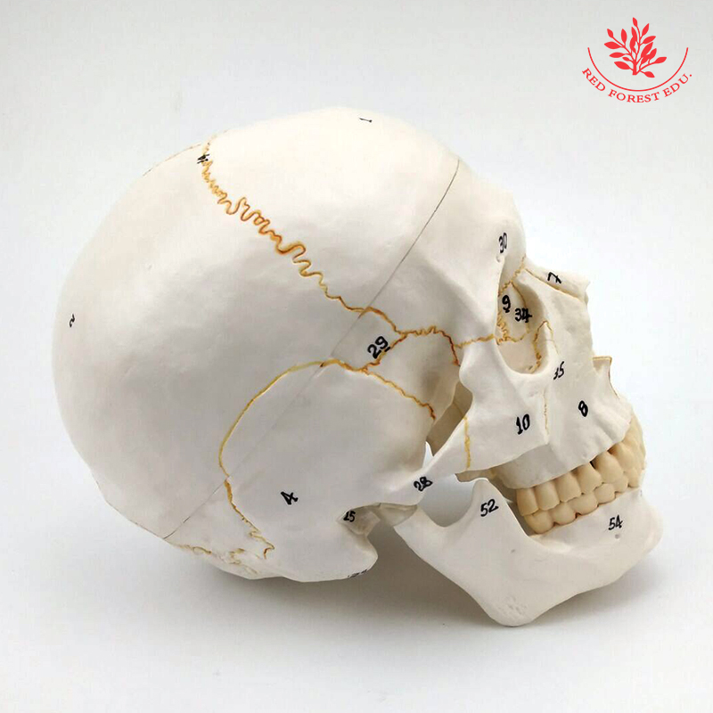 Human anatomical medical Numbered Classic Skull model