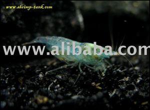 Freshwater Aquarium Shrimp, Freshwater Aquarium Shrimp