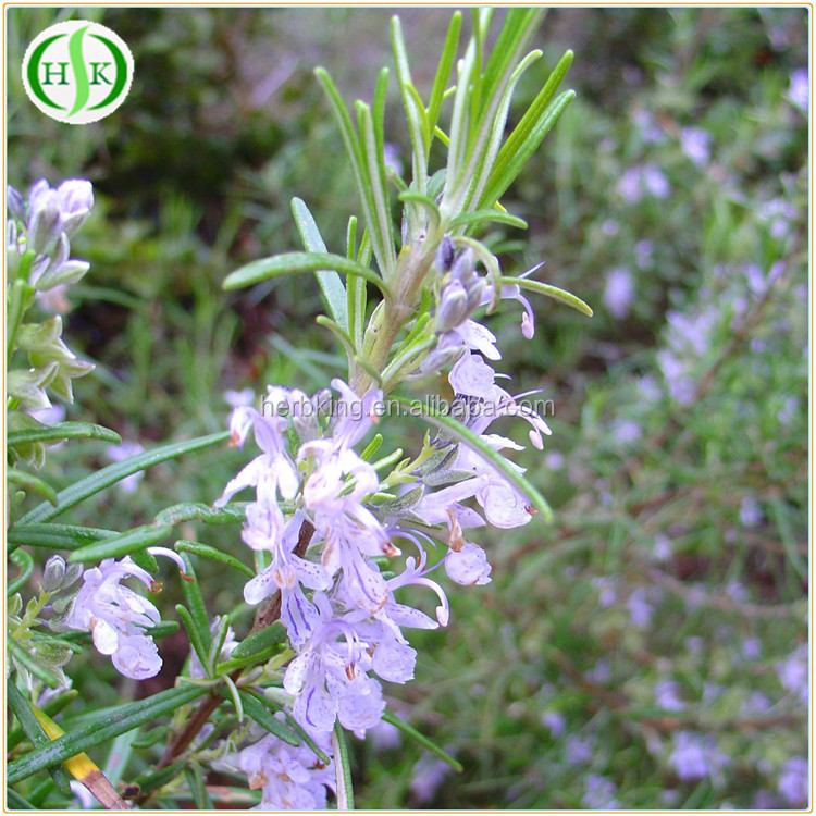 Free sample plant extract rosemary herb