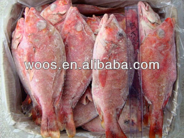 frozen red snapper fish 500g up