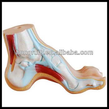 Iso Arched Footnormal And Flat Foot Modelanatomy Foot Model Buy