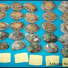 GRADE A abalone for sale
