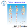 human female man skeleton with joint ligament and enthesis muscles model Guangzhou factory