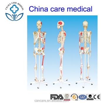 Hembra Humana Hombre Esqueleto Con Ligamento Articular Y Enthesis ...