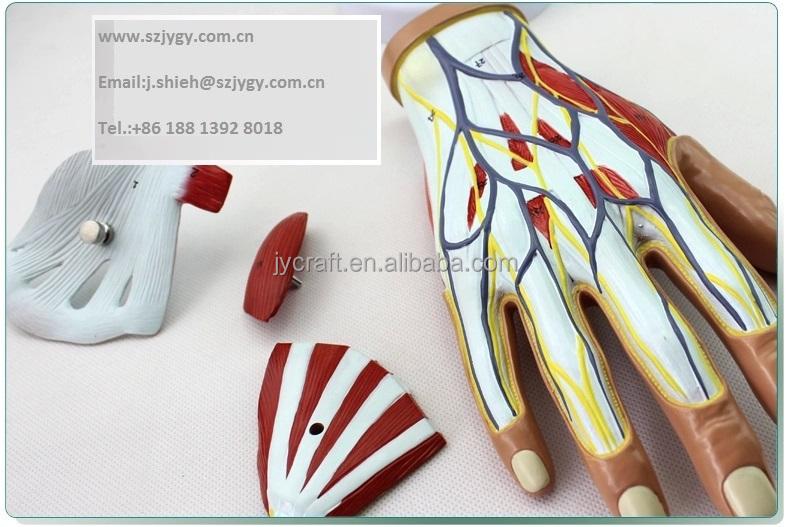 Human Hand Ligament Anatomy Model - Buy Hand Model,Human Anatomy ...
