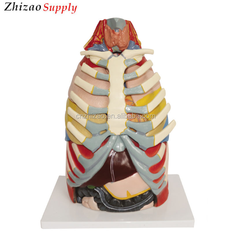 Human Thoracic Cavity Anatomical Model,Chest Anatomical Model - Buy ...