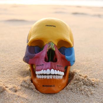 Cráneo Humano Modelo De Cuatro Dimensiones Anatomía Humana/anatomía ...