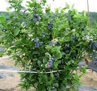 Organic Heirloom Blueberry Blueberries Blue Berry Seeds