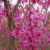 2018 Chinese redbud seeds/Cercis chinensis seeds/redbud seeds