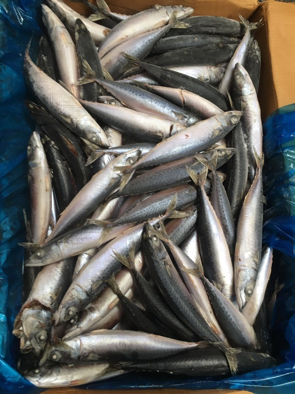 Frozen Chinese Pacific Mackerel