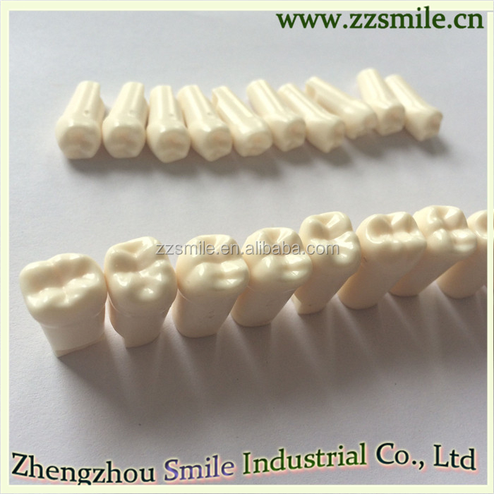 Permanent Teeth With Straight Roots /anatomy Crown,Straight Roots ...