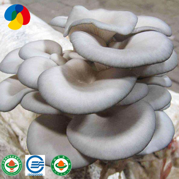Oyster mushroom spawn to sale suppliers price, View oyster mushroom spawn  to sale, Qihe Product Details from Shandong Qihe Bio Technology Co , Ltd   on