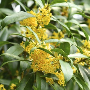 Fragrant Olive Sweet Osmanthus trees for planting