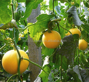 MSM22 Burly golden High Quality f1 hybrid sweet melon seeds price