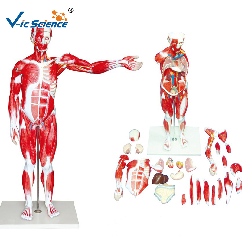 Muscle Model Anatomy, Muscle Model Anatomy Suppliers and ...