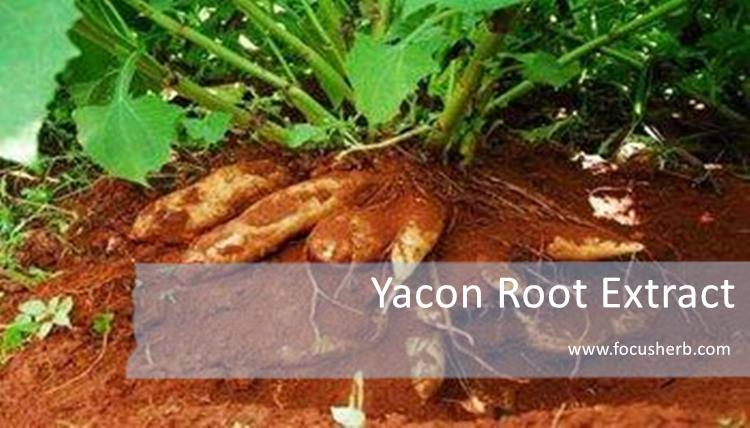 Focusherb Yacon Molasses Yacon Extract Buy Yacon Extract Yacon