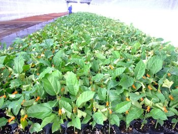 Passion fruit plant and seedind buy passion fruit plant product on - Fruit de la passion plante ...