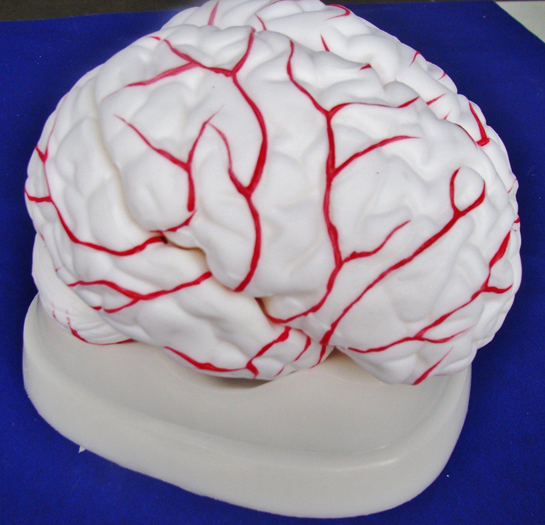 Cheap Artery Anatomy, find Artery Anatomy deals on line at Alibaba.com