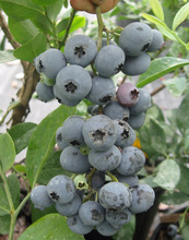 Cow Berry BlueBerry Anthocyanin 36% UV Bilberry Extract Powder 25% HPLC