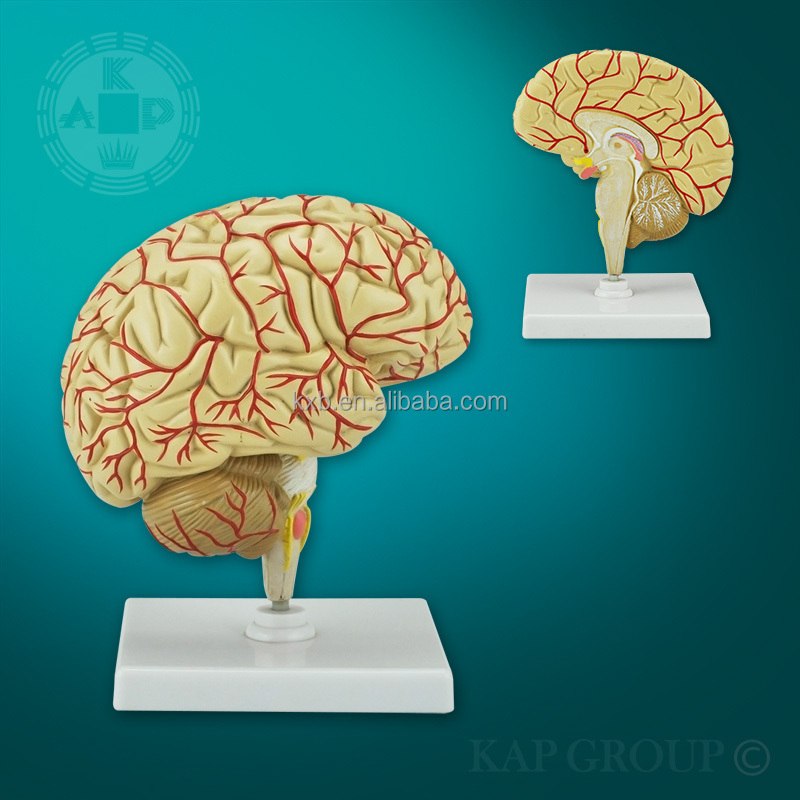Hot Selling Excellent Quality Human Brain Teaching Model,Brain Cross  Section Anatomical Model,3d Brain Medical Educational Model - Buy Brain  Teaching