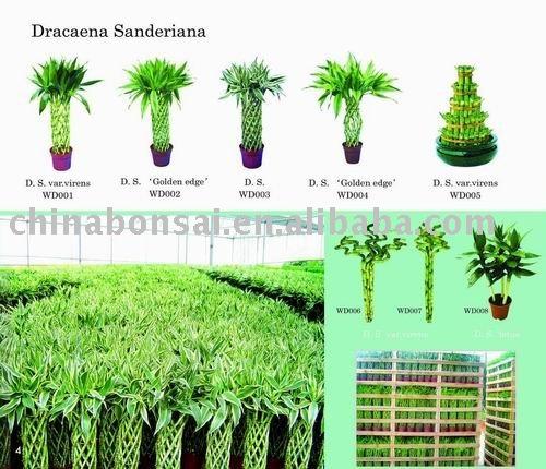 Lucky Bamboo Nursery