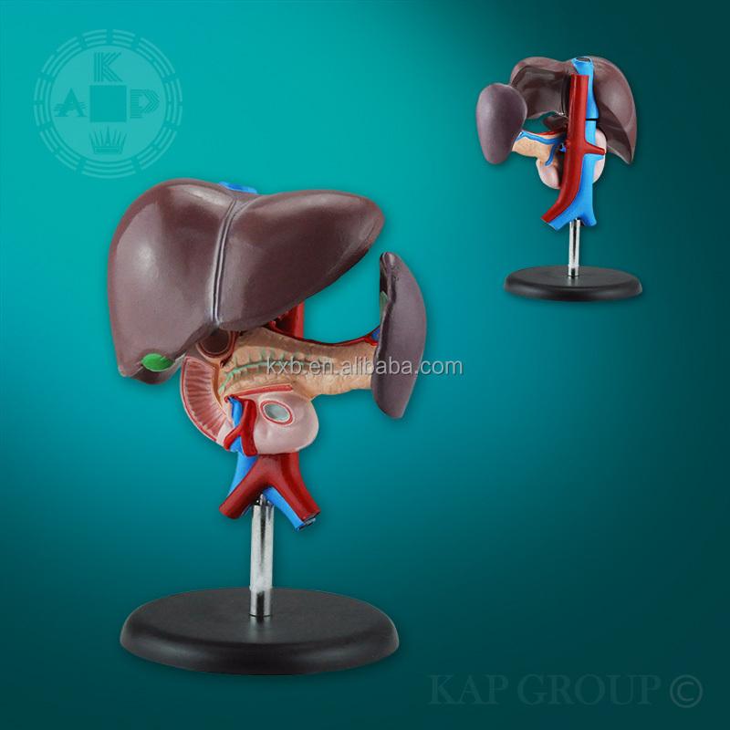 Silicona Hígado Humano Modelo De Enseñanza De Anatomía Órgano Humano ...