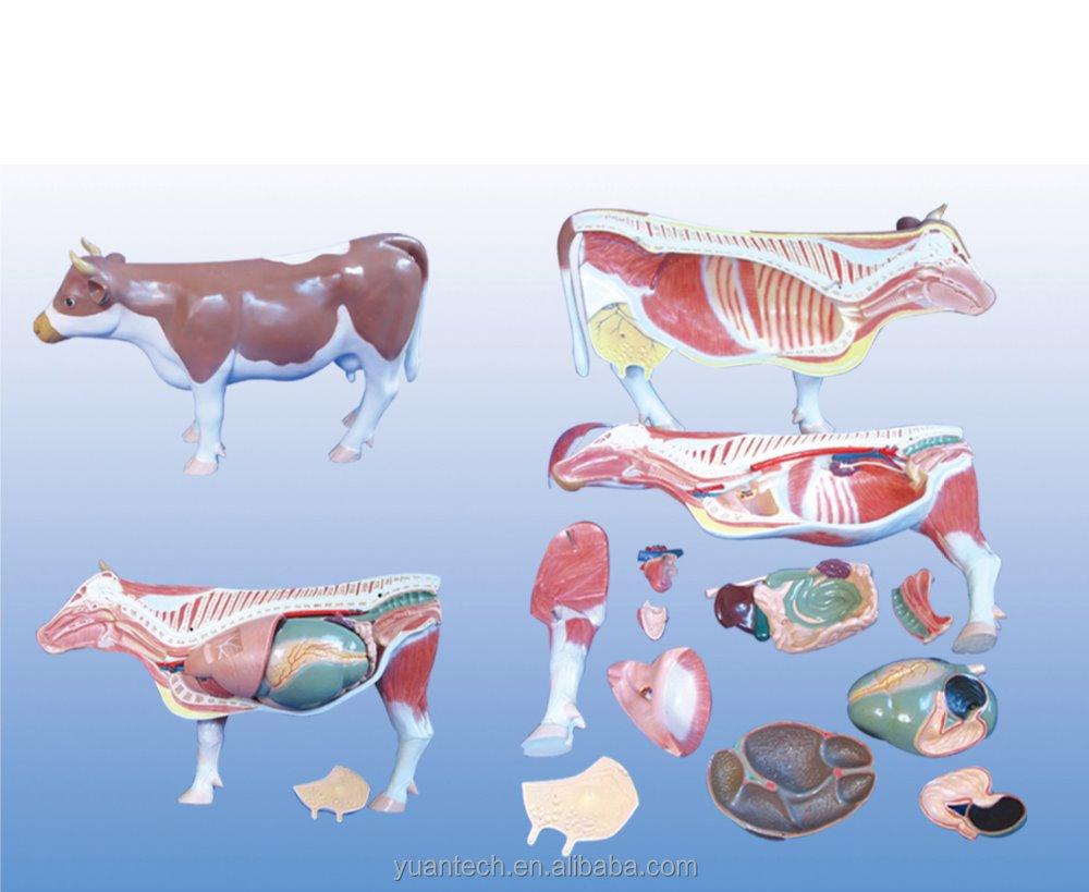 Plastic Cow Anatomy Medical Model Buy Plastic Cowanatomic Model