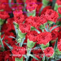 B2C Freshly Cut Carnations From China Flower Market With Water Tubes Shipped All Seasons